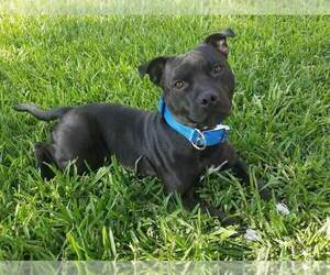 Father of the Staffordshire Bull Terrier puppies born on 09/11/2020