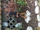 Doberman Pinscher Puppy For Sale in BRIMFIELD, IL