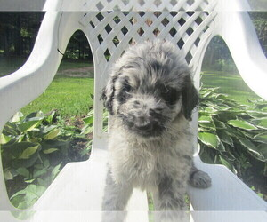 Aussie-Poo Puppy for sale in MESKEGON, MI, USA