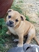 Olde English Bulldogge Puppy For Sale in BEAVERTON, OR,