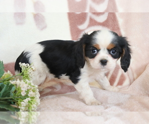 Cavalier King Charles Spaniel Puppy for sale in SHILOH, OH, USA