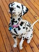 Dalmatian Puppy For Sale in WOODINVILLE, WA, USA