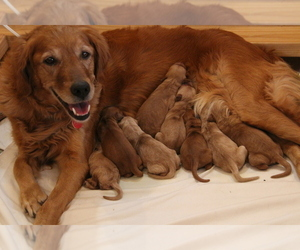 Golden Retriever Puppy for sale in SHERIDAN, WY, USA