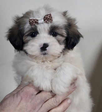 shih tzu breeders indiana view ad shih tzu puppy for sale indiana warsaw usa 7831