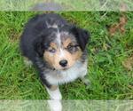 Puppy 9 Miniature Australian Shepherd