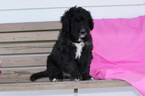 Bernedoodle Puppy For Sale in LEETONIA, OH, USA