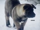 Akita Puppy For Sale in PITTSBURGH, PA, USA
