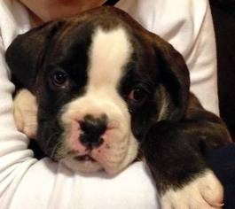 View Ad Boxer Puppy For Sale Louisiana Slidell Usa