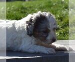 Small #2 Aussiedoodle-Poodle (Miniature) Mix