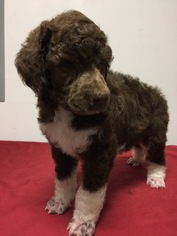 Poodle (Standard) Puppy For Sale in HOHENWALD, TN, USA