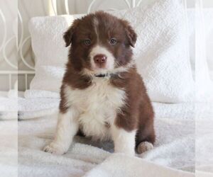 Border Collie Puppy for sale in KINZERS, PA, USA