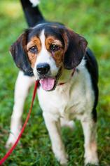 Sparkie (Beagle Mix) - Beagle / Spaniel / Mixed (medium coat) Dog For Adoption