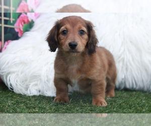 Dachshund Puppy for sale in MARIETTA, GA, USA