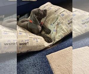 Great Dane Puppy for sale in VILLA RICA, GA, USA