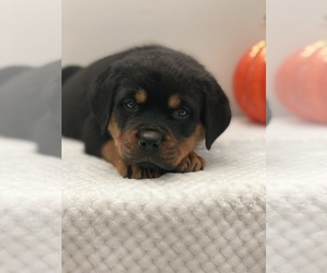 Rottweiler Dog for Adoption in BEECH GROVE, Indiana USA