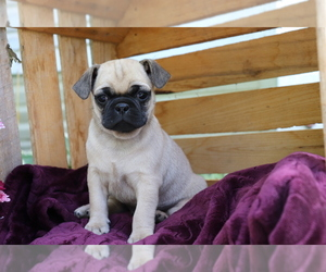 Jug Puppy for sale in SHILOH, OH, USA