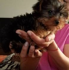 Yorkshire Terrier Puppy For Sale in POMONA, CA