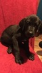 Great Dane Puppy For Sale in LONDON, KY, USA