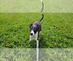 Four Female Italian Greyhound Puppies