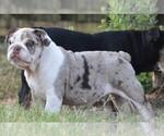 Puppy 6 English Bulldog