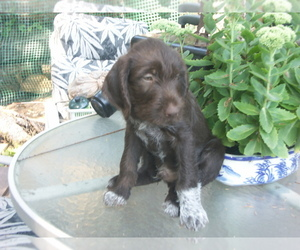 German Wirehaired Pointer Puppy for Sale in PACIFIC BEACH, Washington USA
