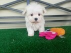 maltese puppies for sale in oklahoma view ad maltese puppy for sale oklahoma ardmore usa 2077