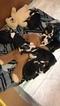Boston Terrier Puppy For Sale in VAN WERT, Ohio,