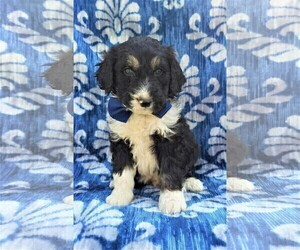 View Ad Bernedoodle Puppy For Sale Near Pennsylvania