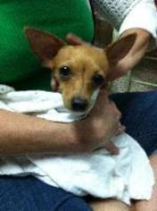 Kika - Chihuahua Dog For Adoption