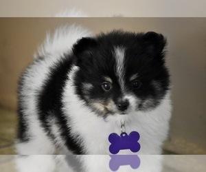 Pomeranian Puppy for Sale in COMMERCE, California USA