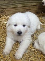 Maremma Sheepdog Puppy for sale in PETTISVILLE, OH, USA