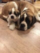 AKC Saint Bernard puppies