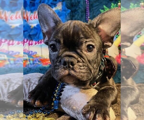 Medium Photo #5 French Bulldog Puppy For Sale in HEATHROW, FL, USA