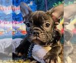 Small Photo #5 French Bulldog Puppy For Sale in HEATHROW, FL, USA