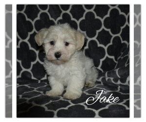 Havanese Puppy for Sale in SUGARCREEK, Ohio USA
