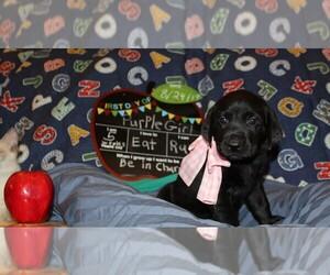 Labrador Retriever Dog for Adoption in LOVELADY, Texas USA