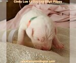 Small Photo #28 Dogo Argentino Puppy For Sale in PINEVILLE, MO, USA