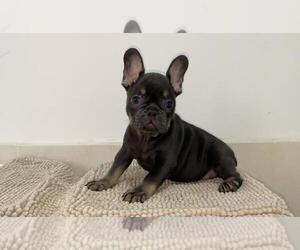 French Bulldog Puppy for sale in ORLANDO, FL, USA
