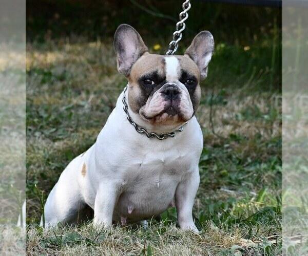 Medium Photo #1 French Bulldog Puppy For Sale in GRAHAM, WA, USA