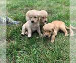 Golden Retriever Puppy For Sale in WAVERLY, MO, USA