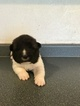 Akita Puppy For Sale in FORT COLLINS, CO, USA