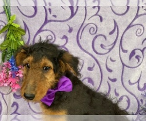 Airedale Terrier Puppy for sale in LANCASTER, PA, USA