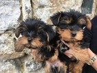 Yorkshire Terrier Dog For Adoption in ALBUQUERQUE, NM, USA