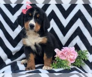 Bernese Mountain Dog Puppies For Sale Near Phillipsburg New