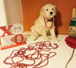 Goldendoodle Puppy For Sale in MONTEVALLO, AL