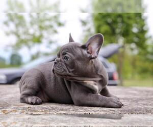 French Bulldog Dog for Adoption in ERIAL, New Jersey USA