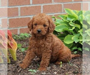 Labradoodle-Poodle (Miniature) Mix Puppy for sale in NEW PROVIDENCE, PA, USA