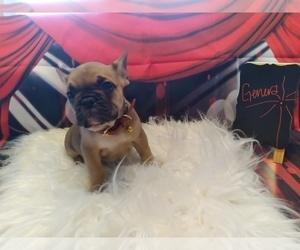Bulldog Puppy for sale in TACOMA, WA, USA