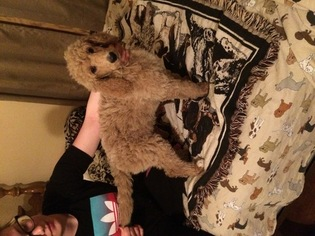 Poodle (Standard) Puppy For Sale in DAVENPORT, IA, USA