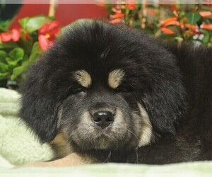 Tibetan Mastiff Puppy for Sale in FORT GIBSON, Oklahoma USA